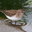 Stock Photo: Least Sandpiper (Calidris minutilla)