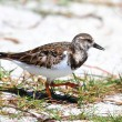 Ruddy Turnstone (Arenaria interpres) — Stock Photo