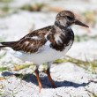 Ruddy Turnstone (Arenaria interpres) — Foto de Stock