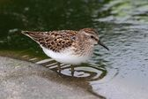 Least Sandpiper (Calidris minutilla) — Stock Photo