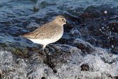 Dunlin (Calidris alpina) — Stock Photo