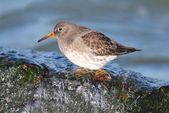 Purple Sandpiper (Calidris maritima) — Stock Photo