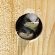 Tree Swallow In Bird House — Stock Photo #26510493