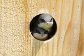 Tree Swallow In a Bird House — Stock Photo
