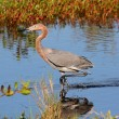 Reddish Egret (Egrettrufescens) — Stock Photo #26639145