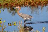Reddish Egret (Egretta rufescens) — Stock Photo