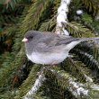 Stock Photo: Junco On Branch