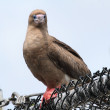 Red-footed Booby (Sula) — Stock Photo