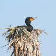 Double-crested Cormorant In a Nest — ストック写真