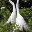 Great Egrets (Ardea alba) — Stock Photo