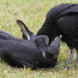 Pair of Black Vultures — Stock Photo #26896171