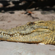 Stock Photo: Nile crocodile (Crocodylus niloticus) Basking in Sun