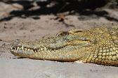 Nile crocodile (Crocodylus niloticus) Basking in The Sun — Stock Photo