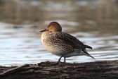 Female Northern Pintail — 图库照片