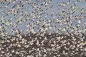 Snow Geese In Flight — Stock Photo
