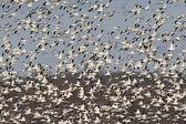 Snow Geese In Flight — Stock Photo