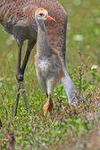 Sandhill Crane Baby — Stock Photo