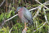 Green Heron (Butorides virescens) — Foto Stock