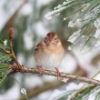 Field Sparrow (Spizella pusilla) On A Snow-covered Branch — Stock Photo