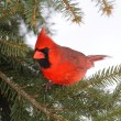 Male Cardinal In Snow — Stock fotografie