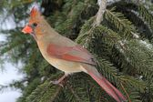 Female Cardinal In Snow — Stock Photo