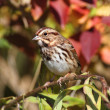 Song Sparrow (Melospiza melodia) — Stock Photo