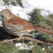 Brown Thrasher In Winter — Stock Photo #34166129
