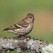 Постер, плакат: Pine Siskin Perched