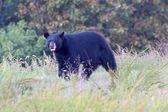 Black Bear (Ursus americanus) — Stock Photo
