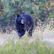 Stock Photo: Black Bear (Ursus americanus)