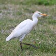 Stock Photo: Cattle Egret (Bubulcus ibis)