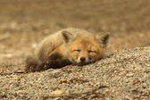 Red Fox Kit Sleeping — Stockfoto