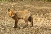 Red Fox Kit — Stock Photo