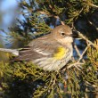 Yellow-rumped Warbler (Dendroica coronata) — Stock Photo