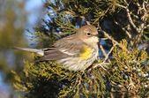 Yellow-rumped Warbler (Dendroica coronata) — 图库照片