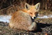 Red Fox (vulpes) — Zdjęcie stockowe