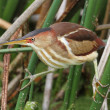 Stock Photo: Least Bittern (Ixobrychus exilis)