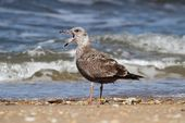 Juvenile Greater Black-backed Gull By The Ocean — Zdjęcie stockowe