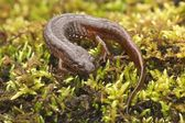 Northern Dusky Salamander ( Desmognathus fuscus ) — Stock Photo