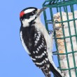 Stock Photo: Downy Woodpecker (Picoides pubescens)