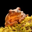 Spring Peeper (Pseudacris crucifer) — Stock Photo #44629389