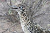 Greater Roadrunner (Geococcyx californianus) — Stock Photo