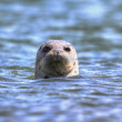 Harbor Seal In The Pacific Ocean — Stock Photo #47570521