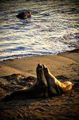 Seals 3 — Stock Photo