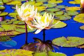 ロータスと花 — ストック写真