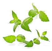 Sprig of mint on a white background — 图库照片