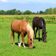 Stock Photo: Horses graze in meadow
