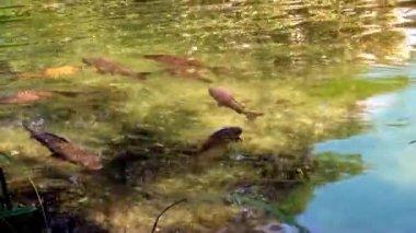 Carpa nadando no lago — Vídeo stock
