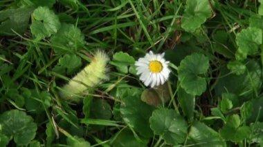 Caterpillar in the grass — Stock Video