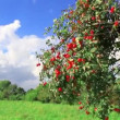 Apple tree with ripe apples - Stock Photo